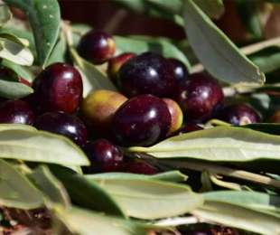 Lucca's olive oil